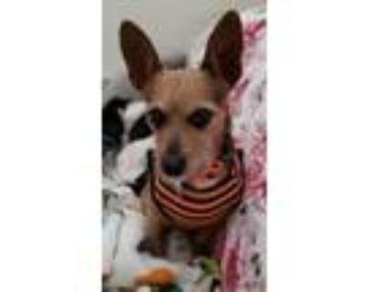 Adopt Minion a Dachshund, Terrier