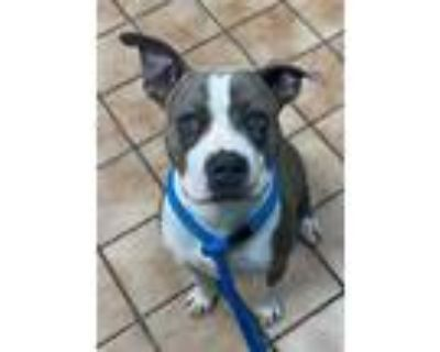 Adopt ESTRELLA a Brindle - with White American Pit Bull Terrier / Mixed dog in
