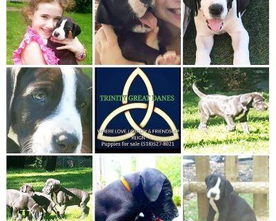 AKC Purebred Great Dane Puppies