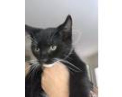 Adopt Monkey a Black & White or Tuxedo American Shorthair / Mixed (short coat)