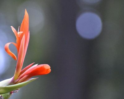 Red Canna Lily for sale