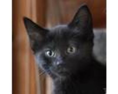 Adopt Pepper a All Black Domestic Shorthair / Mixed cat in Palatine