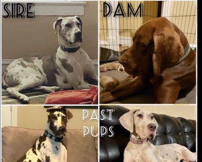 Chocolate/Lilac Great Dane Pups