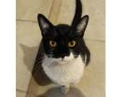 Adopt Judy a Domestic Shorthair cat in Denver, CO (31621163)