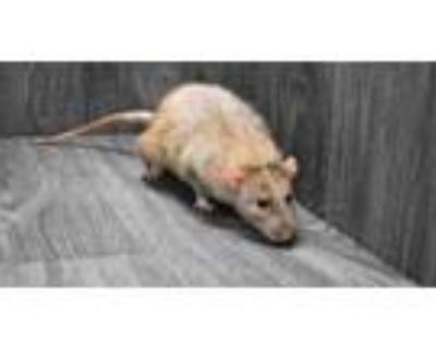 Adopt Rattigan a Rat