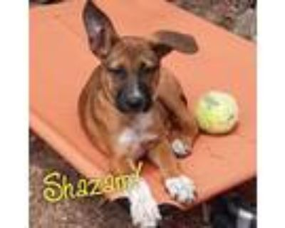 Adopt Shazam a Brown/Chocolate - with Black Hound (Unknown Type) / Mixed Breed