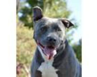 Adopt Bubba II a American Staffordshire Terrier