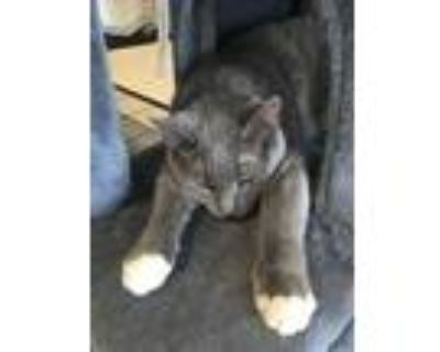 Adopt Kya a Gray or Blue (Mostly) Domestic Shorthair / Mixed (short coat) cat in
