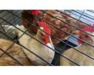 Adopt SPAGHETTI a Chicken