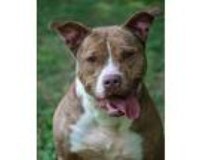 Gianna, Pit Bull Terrier For Adoption In Alpharetta, Georgia