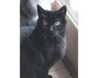 Adopt Blackie Junior a All Black Domestic Shorthair / Mixed cat in St.