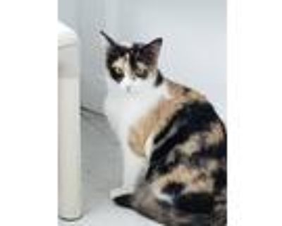Adopt 4829 Medley a Calico or Dilute Calico Domestic Shorthair / Mixed cat in