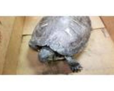 Adopt A090567 a Turtle