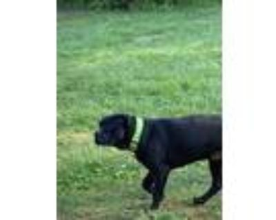 Adopt King a Brown/Chocolate - with Black Cane Corso / American Pit Bull Terrier