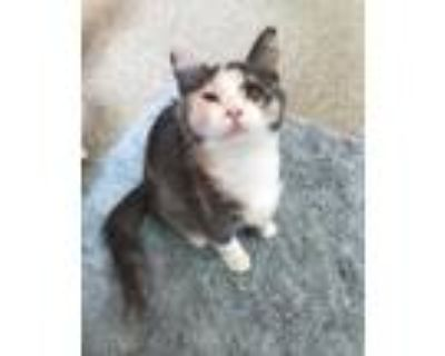 Adopt Fran a White Domestic Shorthair / Domestic Shorthair / Mixed cat in Key
