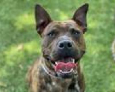 Adopt RAJAH a Brindle American Pit Bull Terrier / Mixed dog in Downey