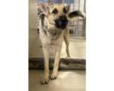 Adopt AMIGO a Black - with Tan, Yellow or Fawn German Shepherd Dog / Mixed dog