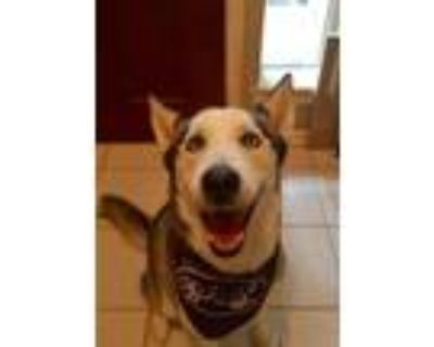 Adopt Alexander a Black - with White Siberian Husky / Mixed dog in Sugar Land