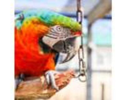 Adopt Pele a Macaw