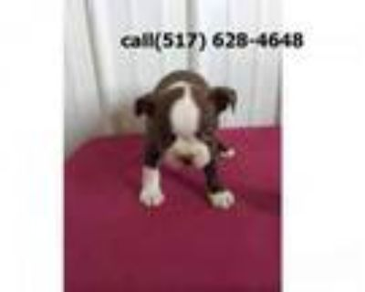 gregarious Boston terrier puppies for sale.
