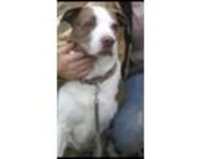 Adopt Poe a Brown/Chocolate - with White Border Collie / Mixed dog in Fort