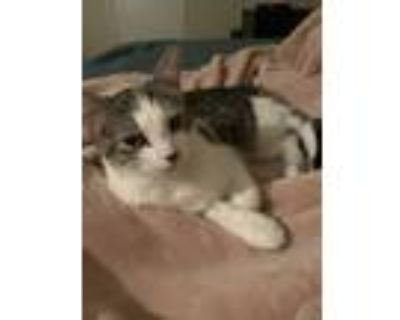 Adopt Luna a White (Mostly) Domestic Longhair / Mixed (long coat) cat in