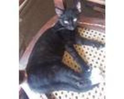 Adopt Nell a Black (Mostly) Domestic Shorthair / Mixed (short coat) cat in