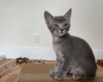Adopt Eve & Vinnie a Russian Blue, American Shorthair
