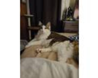 Adopt Zeke a Gray, Blue or Silver Tabby Maine Coon / Mixed (long coat) cat in