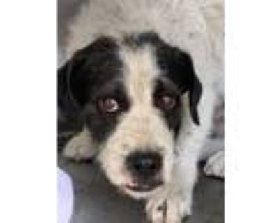 Adopt ODIE a Black - with White Mixed Breed (Medium) / Mixed dog in Los Angeles