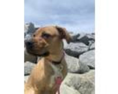 Adopt Piper a Red/Golden/Orange/Chestnut - with White Black Mouth Cur / American