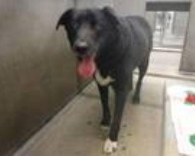 Adopt JAKE a Labrador Retriever, Border Collie