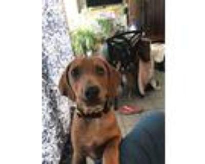Adopt Ralph a Labrador Retriever, Hound