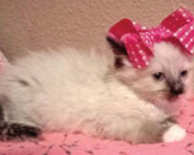 Siamese Kittens Long hair coat, 2 females, 1 male. $250.