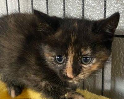 Sierra - Domestic Shorthair - Kitten Female