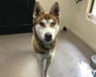 Adopt A498629 a Siberian Husky