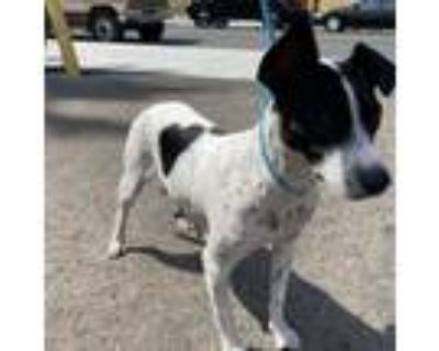 Adopt Stella a Jack Russell Terrier, German Shorthaired Pointer