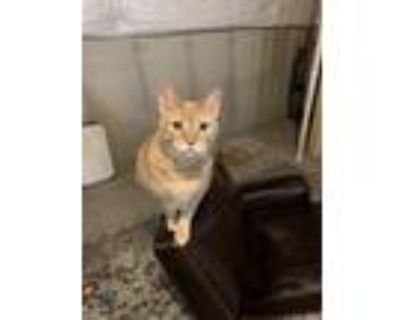 Adopt Charlie a Orange or Red American Shorthair / Mixed (short coat) cat in