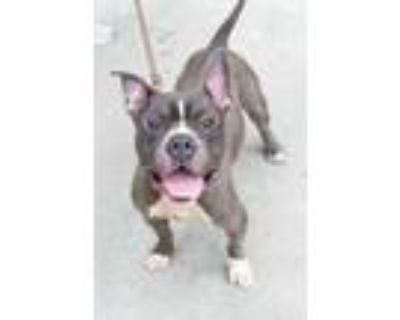 Adopt Gucci Mane a Gray/Blue/Silver/Salt & Pepper Mixed Breed (Large) / Mixed