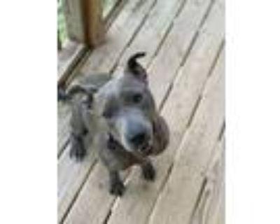 Adopt Teela a Gray/Blue/Silver/Salt & Pepper American Pit Bull Terrier / Mixed