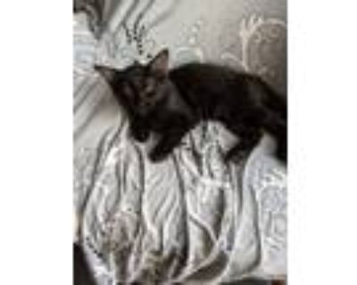 Adopt 5216 Max a All Black Domestic Mediumhair / Mixed cat in Hartwell