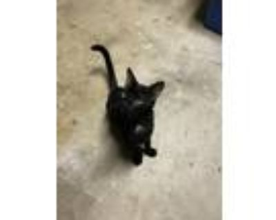 Adopt Poe a All Black American Shorthair cat in Lake Mary, FL (32066041)