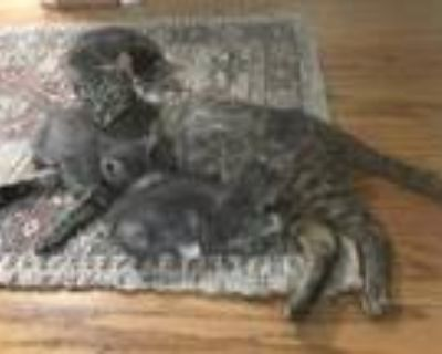 Adopt Carly a Brown Tabby Domestic Shorthair / Mixed (short coat) cat in