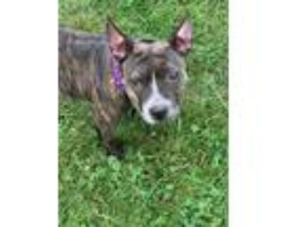 Adopt Molly a Brindle - with White Pit Bull Terrier / Staffordshire Bull Terrier
