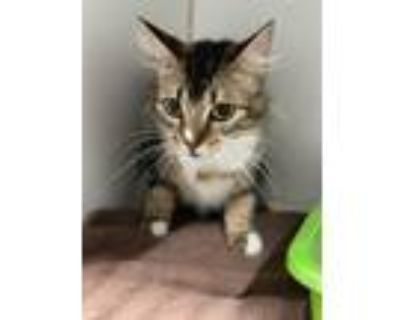 Adopt HARLEY a Maine Coon