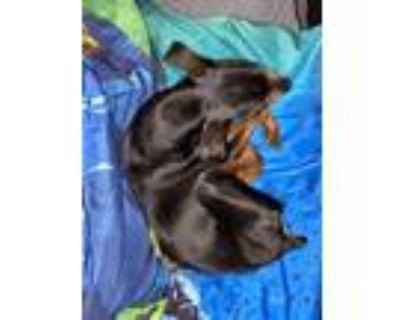 Adopt Rocko a Black Miniature Pinscher / Mixed dog in Louisville, KY (31581007)