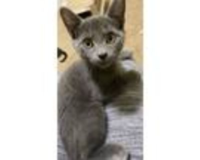 Adopt Nugget a Gray or Blue Domestic Shorthair (short coat) cat in Duluth