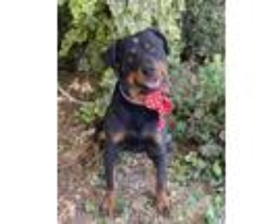 Adopt Chato a Black - with Tan, Yellow or Fawn Rottweiler / Mixed dog in Downey