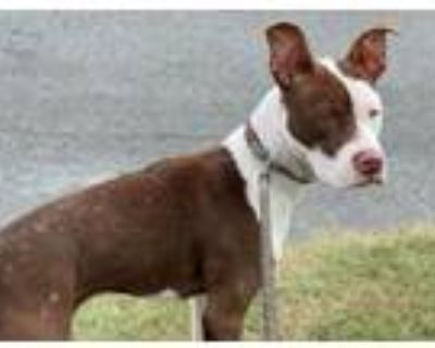 Adopt A061738 a Pit Bull Terrier, Mixed Breed