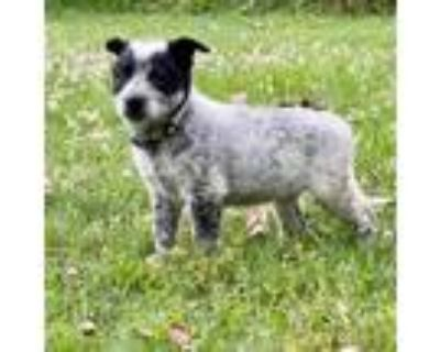 Adopt Thor a White - with Black Border Collie dog in oklahoma city